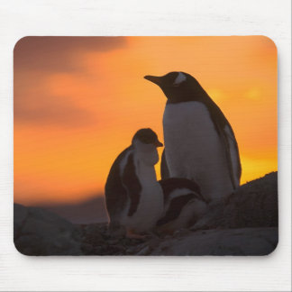 A gentoo penguin adult and chick are silhouetted mouse pad