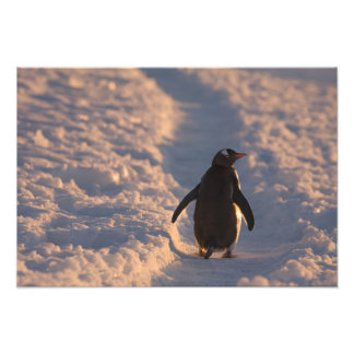A gentoo penguin pauses for a rest during a art photo