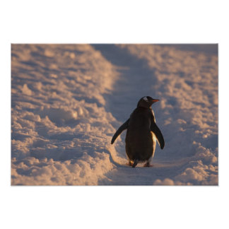 A gentoo penguin pauses for a rest during a poster