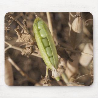 A Green Pea Pod On A Dried Pea Pod Plant Mouse Pad