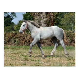 A grey Percheron foal in France Postcard