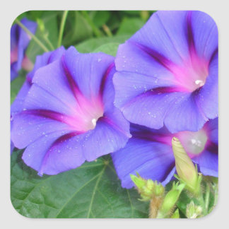 A Group of Beautiful Morning Glories Square Sticker