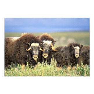 A group of muskoxen browse on willow shrubs on art photo