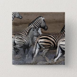 A group of Planes Zebra (Equus quagga) at a 2 Inch Square Button