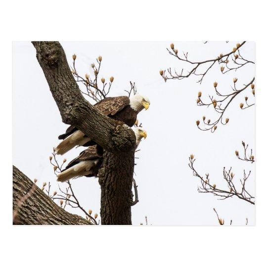 A Happy (?) Eagle Couple Postcard