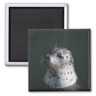 A harbor seal refrigerator magnets
