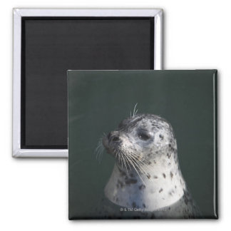 A harbor seal square magnet