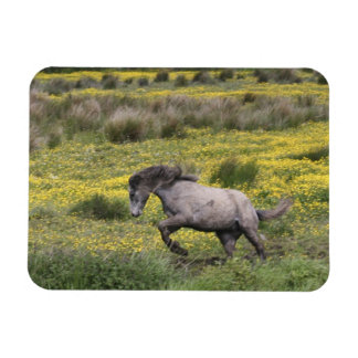 A horse running in a field of yellow wildflowers magnet