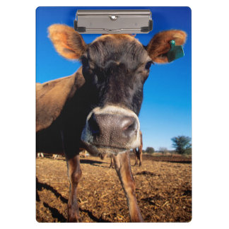A Jersey cow being inquisitive Clipboard