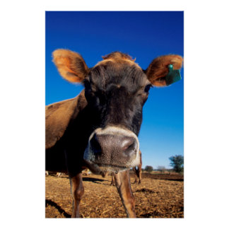 A Jersey cow being inquisitive Poster