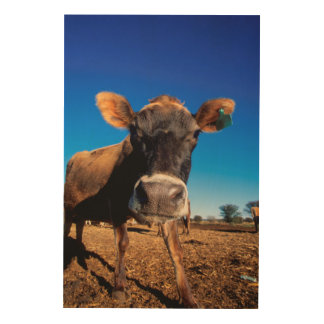 A Jersey cow being inquisitive Wood Prints