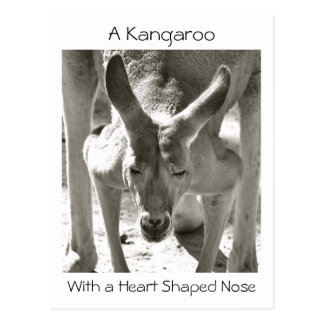 A Kangaroo With a Heart Shaped Nose Postcard