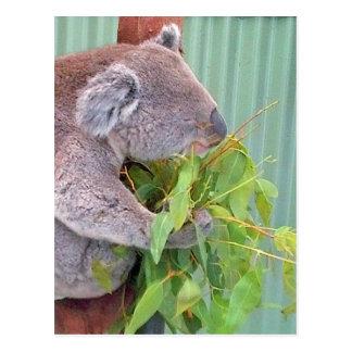 A Koala in Australia Postcard