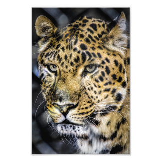 A Leopard's Eyes Art Photo