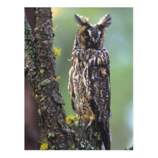 A long-eared owl perched on a tree branch near postcard