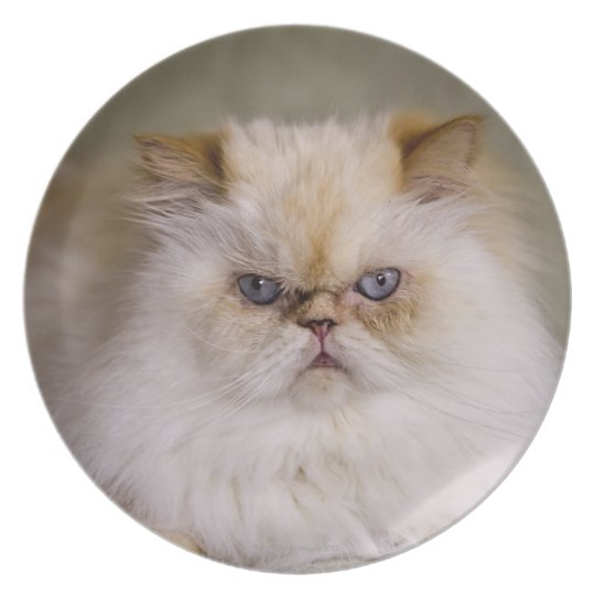 A mad, upset, reclining Flame Point Himalayan Plate