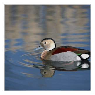 A Male Blue Billed Ringed Teal Swims in a pond Poster