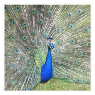 A Male Indian Peacock Fans it's tail Feathers Photo