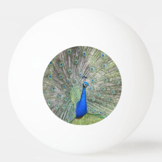 A Male Indian Peacock Fans it's tail Feathers Ping-Pong Ball