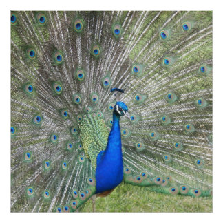 A Male Indian Peacock Fans it's tail Feathers Poster