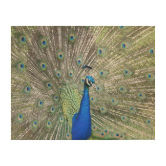 A Male Indian Peacock Fans it's tail Feathers Wood Print