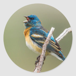 A Male Lazuli Bunting Songbird Singing Classic Round Sticker