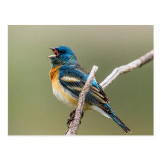 A Male Lazuli Bunting Songbird Singing Postcard