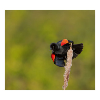 A Male Red-Winged Bird 2 Poster