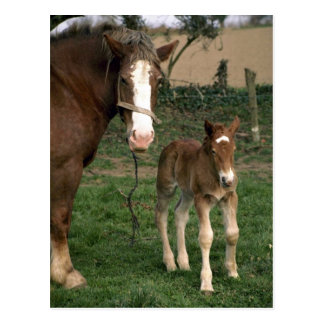 A mare and her foal, France Postcard