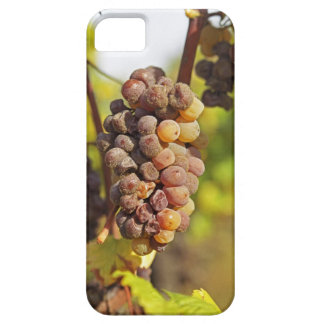 A moldy Semillon grape bunch at Ch Raymond Lafon Case For The iPhone 5