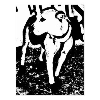 A monochromatic mixed breed Pitbull puppy dog Postcard