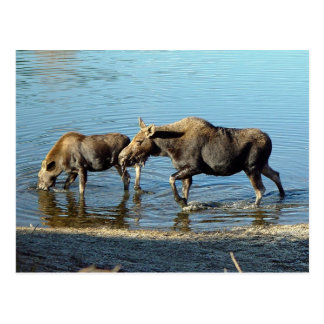 A Moose and Her Calf - postcard
