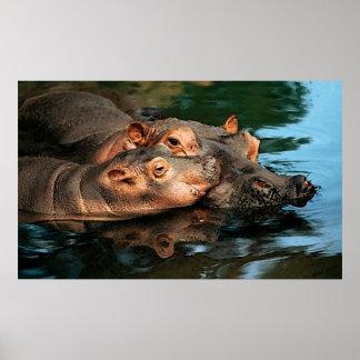 A Mother's Care Hippopotamus Portrait Poster