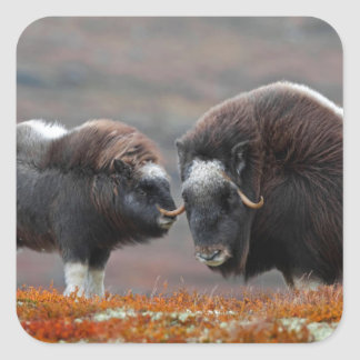 A Musk Ox and Calf Square Sticker