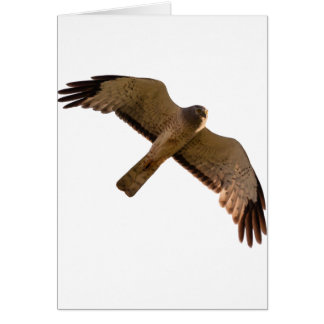 A Northern Harrier soars overhead Card