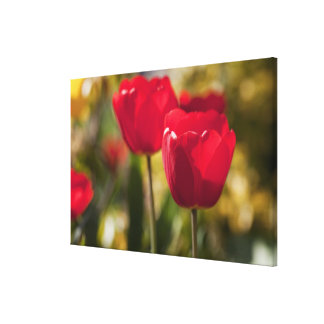 A pair of bright red Tulips captured with a Canvas Print