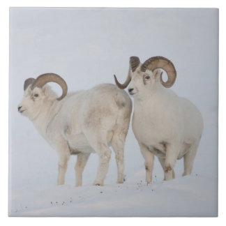 A pair of Dall sheep rams survey each other Tile
