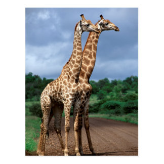 A Pair Of Giraffes On Road, Kruger National Postcard