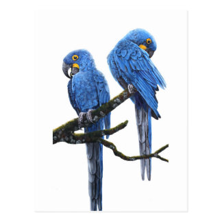 A Pair of Hyacinth Macaws Postcard