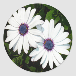 A Pair of Pristine White African Daisies Round Sticker