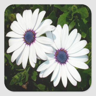 A Pair of Pristine White African Daisies Square Sticker