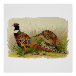 A pair of Ring necked pheasants in a grassy field Poster