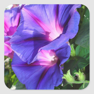 A Pair of Vibrant Morning Glories In Full Bloom Square Sticker