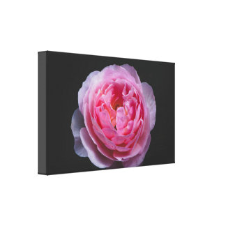 A pink rose flower canvas print
