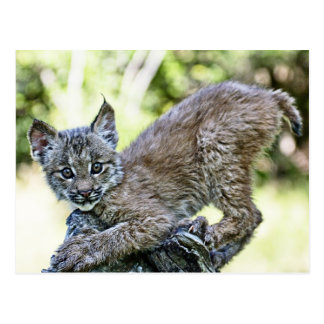 A Playful Canadian Lynx Kitten Postcard