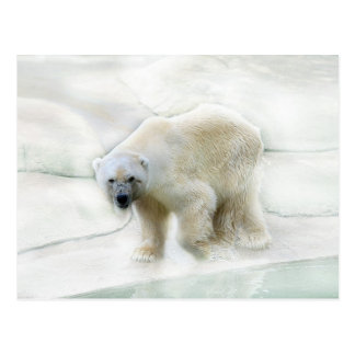 A polar bears icy cold postcard