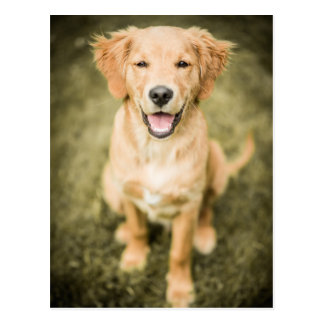 A Portrait Of A Golden Retriever Puppy Postcard