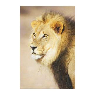 A portrait of a Lion, Kgalagadi Transfrontier Park Canvas Print