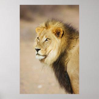 A portrait of a Lion, Kgalagadi Transfrontier Park Poster