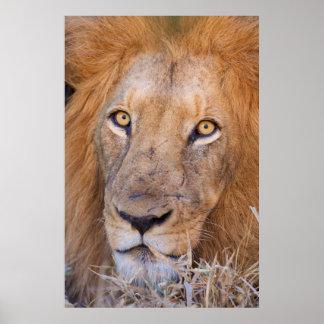 A portrait of a Lion Poster